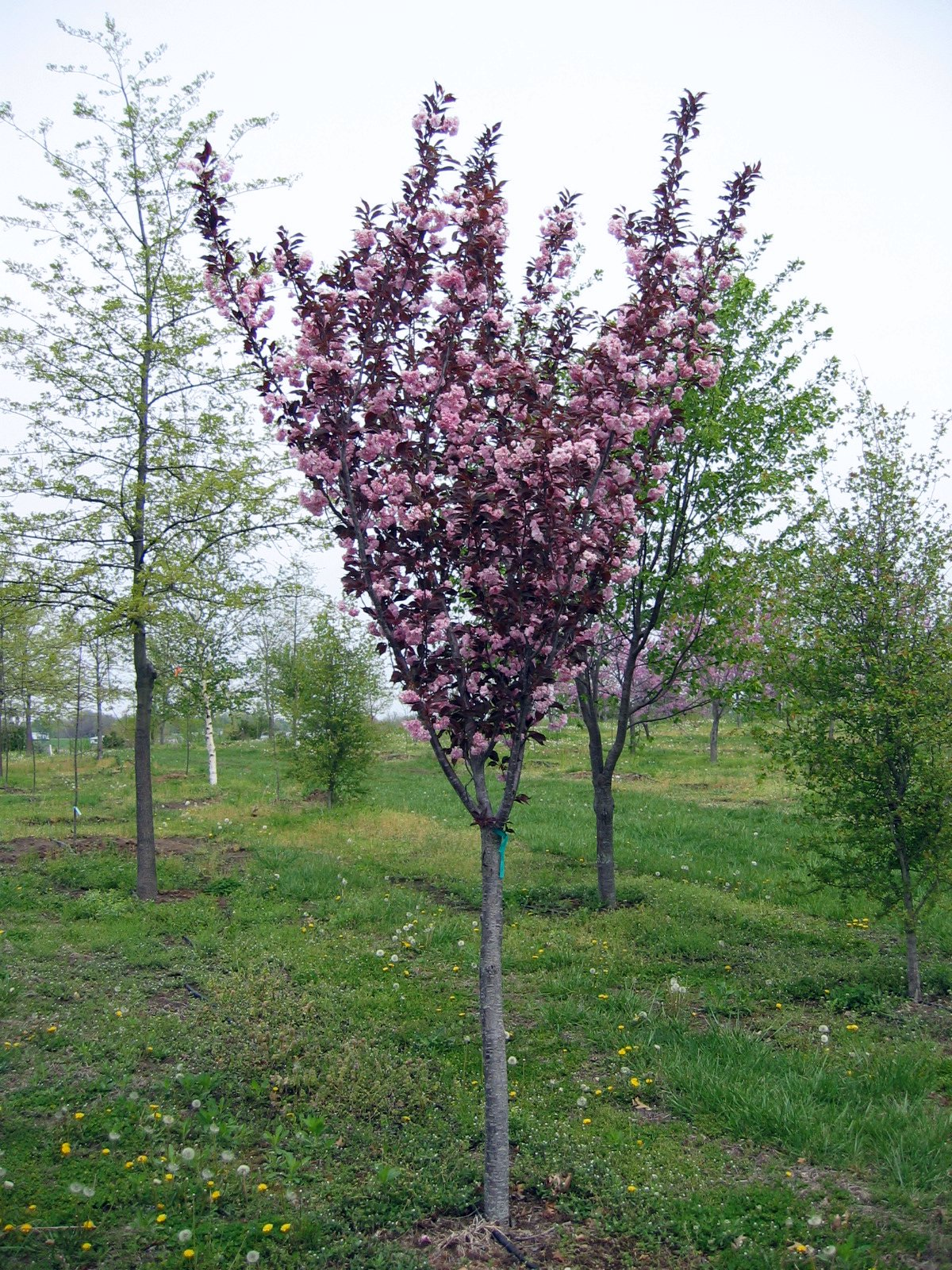 Small ornamental shrubs 50 images robinia pseudoacacia hillieri tree pink acacia tree tree - Decorative small trees for landscaping ...